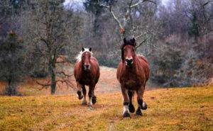 Rasy koni wpisane do ksiąg stadnych w Polsce i ich przydatność do sportów jeździeckich