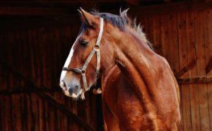 Konie czystej krwi arabskiej