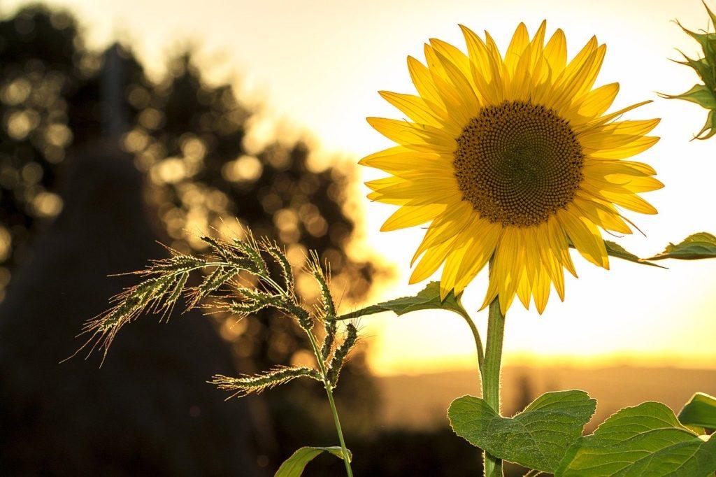 słonecznik z eko rolnictwa